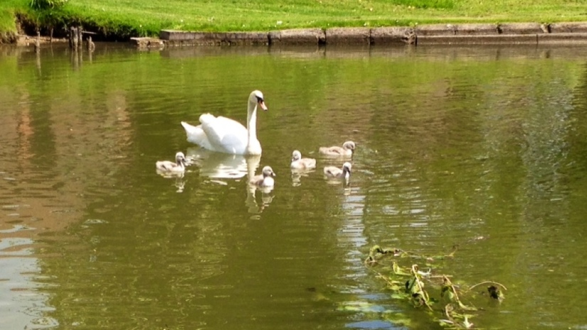 Daddy Swans Can Raise Their Kids Too